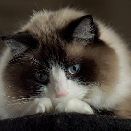 Love me by Bob White - Animals - Cats Portraits ( #ragdoll #ragdollcat #catsofinstagram #ragdollcats #ragdollcatsofinstagram #ragdollsofinstagram #ragdoll_feature #cat #ragdollkitten #ragdollworld #ragdolls #ragdollcatlovers #ragdollcatfans #cats #ragdollofinstagram #ragdollsofig #ragdollkittens #ragdolllovers #ragdollkitty #ragdollstagram #ragdolloftheday #catstagram #cats_of_instagram #kitten #ragdollclub #instacat #ragdollmix #ragdollcattery #ragdollcatsofinsta #meow @bruceleetags,  )