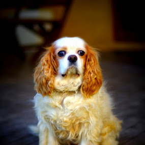Magic by Graham MacDougall - Animals - Dogs Portraits ( king charles cavalier )