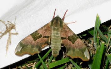 Photo: Mimas tillae PGE   Lepidoptera > Sphingidae