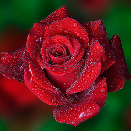 Reds Rose by TEDDY ZUSMA - Nature Up Close Flowers - 2011-2013