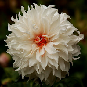 OOty Flr by Anup Kumar Adhikari - Flowers Single Flower (  )