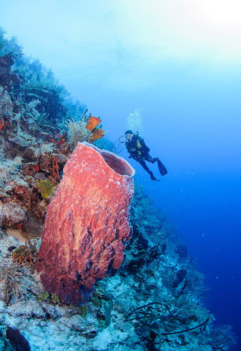 A giant barrel sponge in Turneffe Atoll in Belize.
