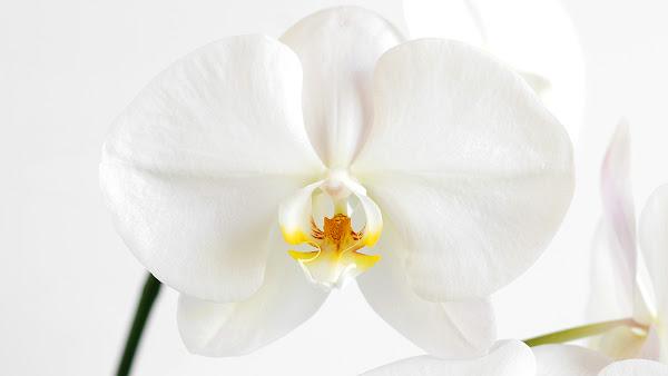 <p> White Orchid&nbsp;</p>