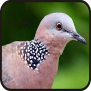 Suara Burung Tekukur||Dekukur