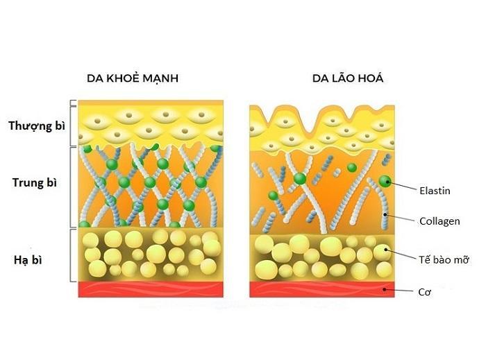 Collagen là chất thiết yếu đối với da
