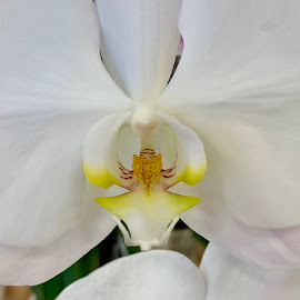 White Orchid by Diane Garcia - Instagram & Mobile iPhone ( white, orchid, flower )