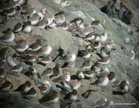 Photo: Western and Least sandpipers on the rocks at Coyote Point, San Mateo County