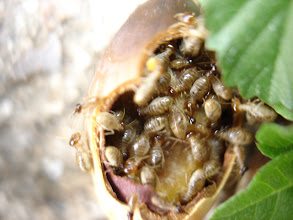 Photo: ants and termites on wooden acorn
