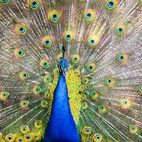 Natural Royalty by Gabriel Cabrera - Animals Birds ( animals, nature, colors, birds, peacock )