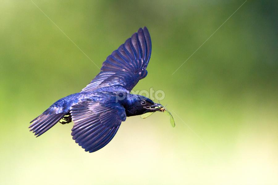 Martin by Herb Houghton - Animals Birds ( wild, martin, herbhoughton.com, swallow, songbird, non captive, purple martin )