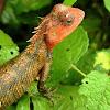 The oriental garden lizard