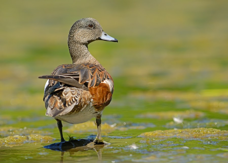 American wigeon 1 by Dominic Roy - Animals Birds