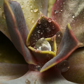 Echeveria hybrid by Juliusz Wilczynski - Nature Up Close Natural Waterdrops ( macro, leaf, photo, flower )