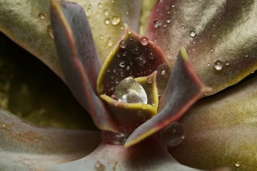Echeveria hybrid by Juliusz Wilczynski - Nature Up Close Natural Waterdrops ( macro, leaf, photo, flower )