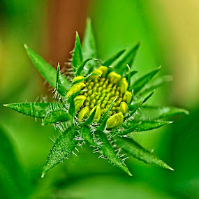 Thorny by Merna Nobile - Nature Up Close Flowers - 2011-2013 ( flower, green thorny )