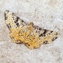 Brown-Speckled Psilalcis