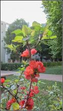 Photo: Gutui Japonez (Chaenomeles japonica) - de pe Calea Victoriei, Nr.19-21 - spatiu verde - 2018.04.23   Obs. Gutuiul Japonez are mai multe posibilitati de imultire cum ar fi: prin seminte, butasire, marcotaj, prin drajoni sau altoire spre deosebire de exemplu de Cires japonez (Prunus Surrulata) care se poate inmultii doar prin altoire