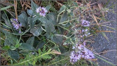 Photo: Mentă comună  (Mentha spicata) - din Turda, de pe Str. Baladei, intre blocuri - 2018.11.04