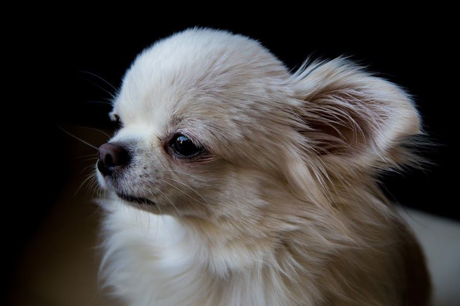 Oogie by Maya Bar - Animals - Dogs Portraits ( chihuahua, dog )