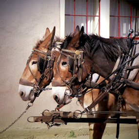 donkeys sm.jpg