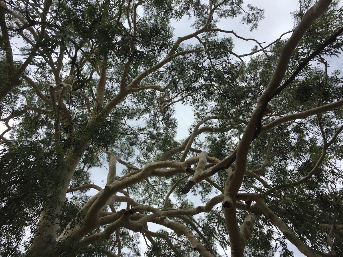 Olive Grove in Victoria