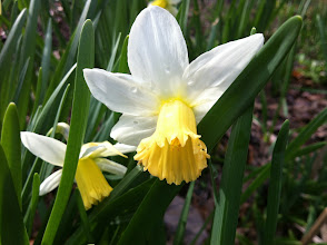 Photo: Narcissus 'Miss Grace'