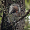 Gray Squirrel or Eastern Gray Squirrel