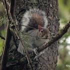Gray Squirrel or Eastern Gray Squirrel