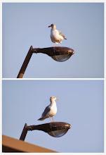 Photo: 撮影者:佐藤サヨ子 セグロカモメ タイトル:いい眺めですね 観察年月日:2011年2月11日 羽数:1羽 場所:高幡橋欄干の電燈の上 区分:行動 メッシュ:武蔵府中2K コメント:定期カウントに行く途中カイツブリを見た後この鳥に出会った。高いところから我々を見下ろすのはどんな気持ちなんでしょうか。