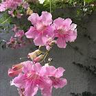 Pink trumpetflower