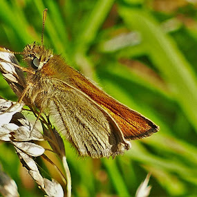 Skipper Moth by Scott Williams-Collier - Animals Insects & Spiders