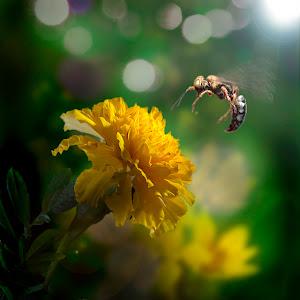 Flying bee on flower-b.jpg