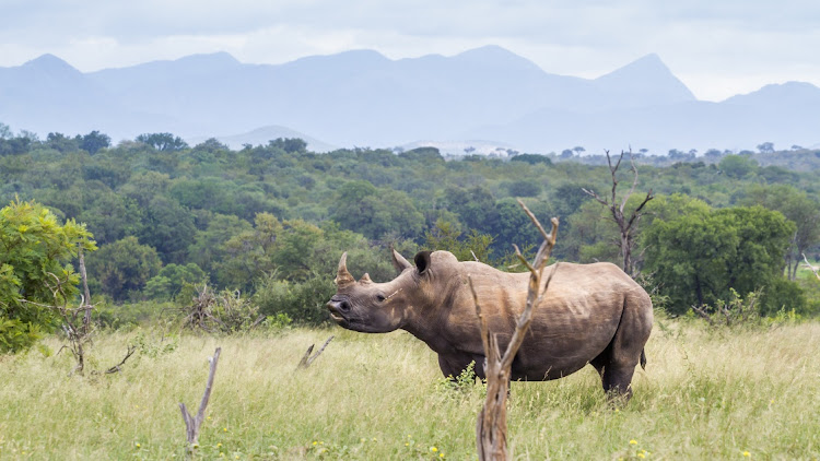 The rhino poaching trial of six Zimbabweans, four of whom are allegedly in South Africa illegally, will proceed in the high court sitting in Makhanda on Thursday.