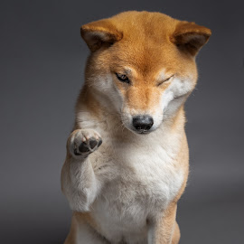 Hi everyone!  by Astrid Kallerud - Animals - Dogs Portraits ( pets, doggie, shiba, animal, animals, dog, pet, dog portrait )