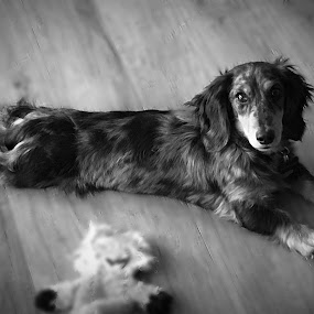 Auggie by Peggy Clark - Animals - Dogs Puppies ( dachshund, family, puppies,  )