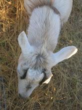 Photo: Yoga Farm, CA - goat