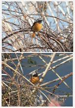 Photo: 撮影者:sayoko sato 鳥名:ジョウビタキ タイトル: 観察年月日:2014年1月7日 羽数:♂1羽 場所:ふれあい橋上流 区分:行動 メッシュ:武蔵府中3K コメント:カシラダカやツグミなどたくさんの鳥を見て帰る途中、ジョウビタキがいるのに気が付きました