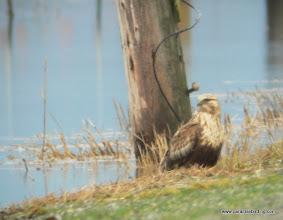 Photo: Rough-legged Hawk, Samish Flats, Washington