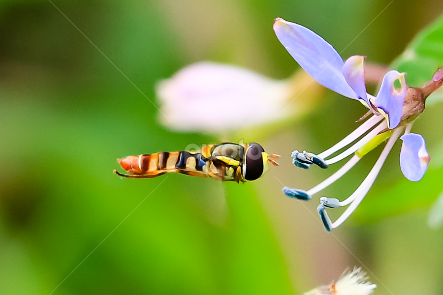 hovering 2 by Yohanes Sanjaya - Animals Insects & Spiders