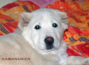 """Photo: maschio BALLU 3 mesi e mezzo, """"orso bianco"""" da vedere!!! il cucciolo ha ossatura molto grossa e stazza imponente senza alcun tratto linfatico-molossoide,  muso larghissimo e ben riempito sotto agli occhi; movimento sciolto e bilanciato tipico di cani costruiti correttamente, , ottimo cane da famiglia, guardiano"""