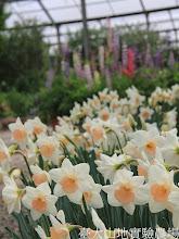 Photo: 拍攝地點: 梅峰-溫帶花卉區  拍攝植物: 水仙(前)和羽扇豆(後) 拍攝日期:2012_03_02_FY