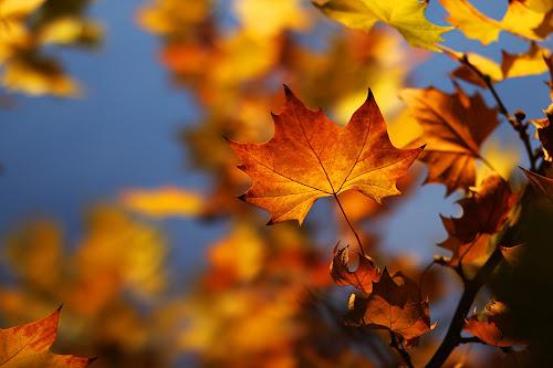 The autumn leaf by Cornelis Cornelissen - Nature Up Close Leaves & Grasses ( orange, pwcfallleaves, tree, autumn, leaves )