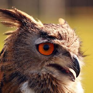 Eagle owl 2.jpg