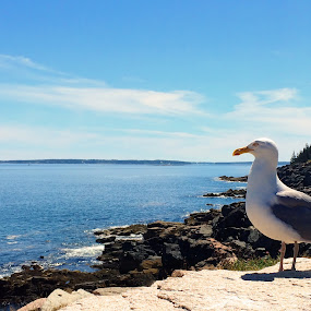 Acadia seagull by Mike Tapley - Landscapes Waterscapes ( seagull, maine, acadia national park )