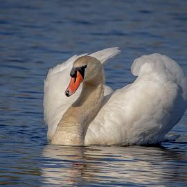Swan by Debbie Quick - Animals Birds ( debbie quick, nature, hudson river, swan, mute swan, debs creative images, water, waterfowl, outdoors, bird, animal, wild, hudson valley, wildlife )