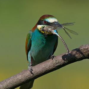 D:\01 GALERIJA FOTO\01 ptice\Čebelar - Rumenogrli čebelar - Merops apiaster\pixoto 2015\Merops-apiaster-246.jpg