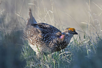 Photo: Sharp-tailed Grouse