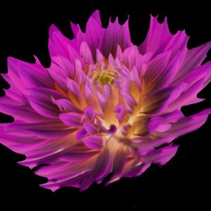 pink dahlia.jpg