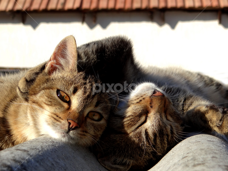 Together forever! by Milena Stanković - Animals - Cats Kittens ( cats, animals, kitten, cat, animal )