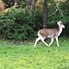 Whitetail Deer, piebald